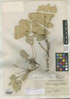 Filed as Ateleia albolutescens Mohlenborck, R.H. 1962 [family FABACEAE]