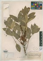 Holotype of Lonchocarpus robustus Pittier, H. 1917 [family FABACEAE]
