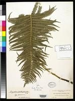 Holotype of Dryopteris struthiopteroides Christensen, C.F.A. 1909 [family DRYOPTERIDACEAE]
