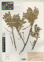 Isotype of Sophora rapaensis St. John, H. 1985 [family FABACEAE]