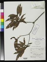 Isotype of Quercus boquetensis Standley, P.C. 1940 [family FAGACEAE]