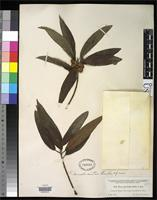 Isotype of Ficus donnell-smithii Standley, P.C. 1917 [family MORACEAE]