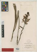 Filed as Habenaria conspicua Nash, G.V. 1896 [family ORCHIDACEAE]
