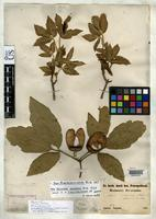 Isolectotype of Acer maximowiczianum Miquel, F.A.W. 1867 [family ACERACEAE]