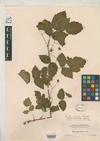 Isotype of Rubus helleri Rydberg, P.A. 1913 [family ROSACEAE]