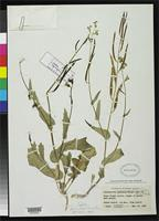 Holotype of Streptanthus arizonicus var. luteus Kearney, T.H. & Peebles, R.H. 1939 [family BRASSICACEAE]