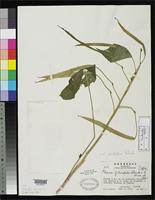 Isotype of Cleome filisepala Standley, P.C. & Williams, L.O. 1952 [family CAPPARIDACEAE]