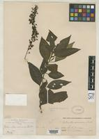 Isotype of Villamilla racemosa Britton, N.L. 1895 [family PHYTOLACCACEAE]