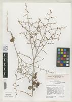 Isotype of Eriogonum scabrellum Reveal, J.L. 1968 [family POLYGONACEAE]