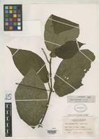 Holotype of Piper meraense Trelease, W. & Yuncker, T.G. 1950 [family PIPERACEAE]