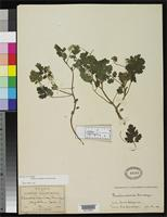 Filed as Phacelia scariosa Brandegee, T.S. 1889 [family HYDROPHYLLACEAE]