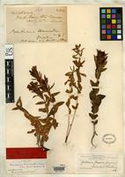 Filed as Gentiana forwoodii Gray, A. 1883 [family GENTIANACEAE]