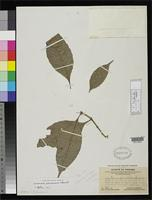 Filed as Quiina panamensis Standley, P.C. 1929 [family QUIINACEAE]