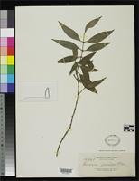 Isotype of Garcinia garciae Elmer, A.D.E. 1911 [family CLUSIACEAE]