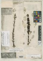 Holotype of Allotropa virgata Torrey, J. & Gray, A. 1868 [family PYROLACEAE]