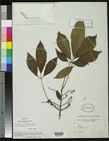 Isotype of Vitex pseudolea Rusby, H.H. 1927 [family VERBENACEAE]