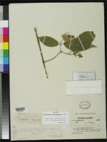 Isotype of Clerodendrum swynnertonii Moore, S.L.M. 1911 [family VERBENACEAE]