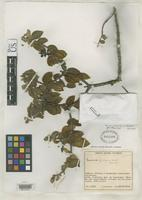 Holotype of Miconia jentaculorum Wurdack, J.J. 1965 [family MELASTOMATACEAE]