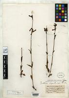 Holotype of Penstemon oliganthus Wooton, E.O. & Standley, P.C. 1913 [family SCROPHULARIACEAE]