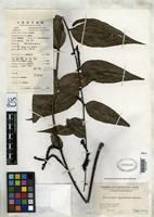 Isotype of Botryopleuron longispicatum Merrill, E.D. 1922 [family SCROPHULARIACEAE]