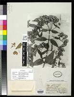 Filed as Calea colombiana Gandoger, M. 1918 [family ASTERACEAE]