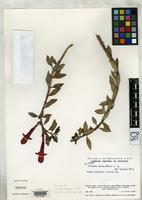 Isotype of Columnea mentiens Morely, B. 1974 [family GESNERIACEAE]