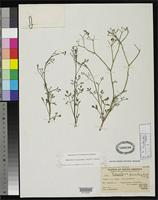 Isotype of Eremocharis dissecta Johnston, I.M. 1929 [family APIACEAE]