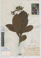 Isotype of Greeniopsis euphlebia Merrill, E.D. 1920 [family RUBIACEAE]