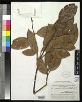 Isotype of Parinari pilosa Standley, P.C. 1937 [family ROSACEAE]