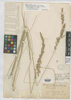 Holotype of Calamagrostis californica Kearney, T.H. 1898 [family POACEAE]