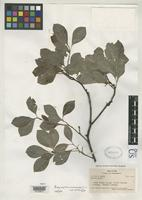 Isotype of Psychotria monocarpa Fosberg, F.R. 1942 [family RUBIACEAE]