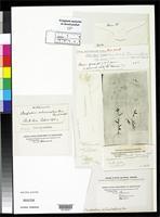 Filed as Paspalum orbiculatum Poiret, J.L.M. 1804 [family POACEAE]