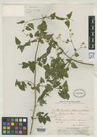 Isotype of Eupatorium yungasense Robinson, B.L. 1934 [family ASTERACEAE]