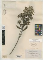 Isotype of Lychnophora albertinioides Gardner, G. 1846 [family ASTERACEAE]