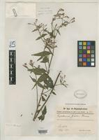 Isotype of Eupatorium jelskii Hieronymus, G.H.E. 1905 [family ASTERACEAE]