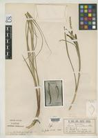 Isotype of Carex limnocharis Holm, T. 1904 [family CYPERACEAE]
