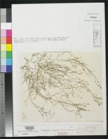 Isotype of Carpomitra luxurians Taylor, W.R. 1945 [family SPOROCHNACEAE]