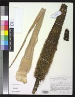 Holotype of Encholirium brachypodum Smith, L.B. 1989 [family BROMELIACEAE]