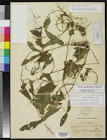 Holotype of Cobaea panamensis Standley, P.C. 1914 [family POLEMONIACEAE]