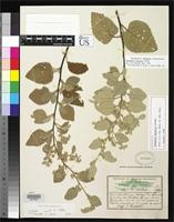 Holotype of Waltheria conzattii Standley, P.C. 1923 [family STERCULIACEAE]