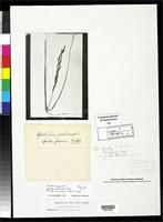 Filed as Spartina pectinata Link, J.H.F. 1820 [family POACEAE]