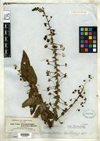 Isotype of Celsia floccosa Bentham, G. 1846 [family SCROPHULARIACEAE]