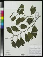 Isotype of Alnus maritima subsp. georgiensis Schrader, J.A. & Graves, W.R. 2003 [family BETULACEAE]