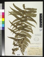 Isotype of Dryopteris malangae Christensen, C. F. A. 1937 [family DRYOPTERIDACEAE]