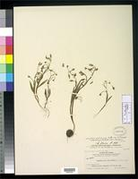 Isotype of Claytonia aurea Nelson, A. 1900 [family PORTULACACEAE]