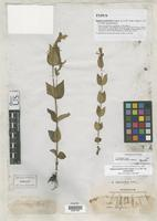 Filed as Spigelia gentianoides Chapman, A.W. 1845 [family LOGANIACEAE]