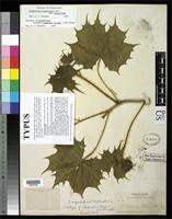 Isotype of Cnidoscolus pringlei Johnston, I.M. 1923 [family EUPHORBIACEAE]