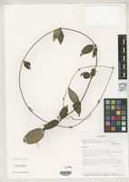 Isotype of Matelea elachyantha Stevens, W.D. 2000 [family ASCLEPIADACEAE]