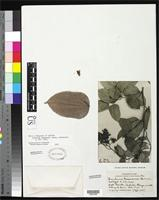 Isotype of Bauhinia tessmannii Harms, H.A.T. 1925 [family FABACEAE]