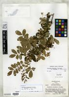 Isotype of Coursetia polyphylla var. breviloba Sousa, M. & Lavin, M. 1987 [family FABACEAE]